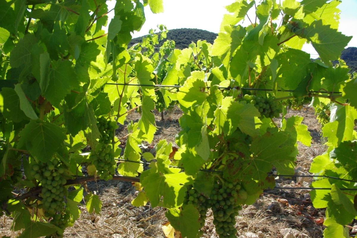 Mode de conduite de la vigne